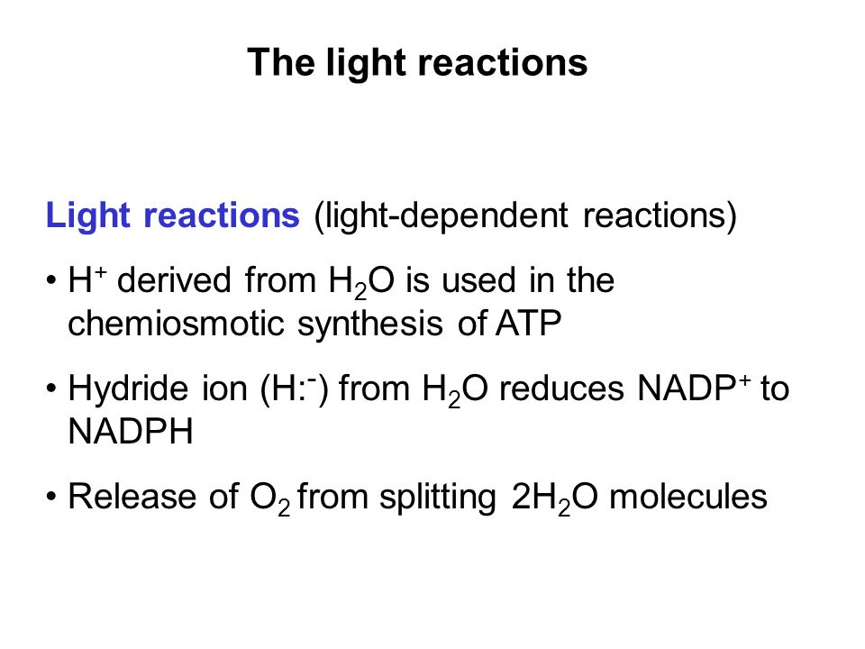 The light reactions Light reactions (light-dependent reactions) H + derived from H 2 O is used in the chemiosmotic synthesis of ATP Hydride ion (H: - ) from H 2 O reduces NADP + to NADPH Release of O 2 from splitting 2H 2 O molecules