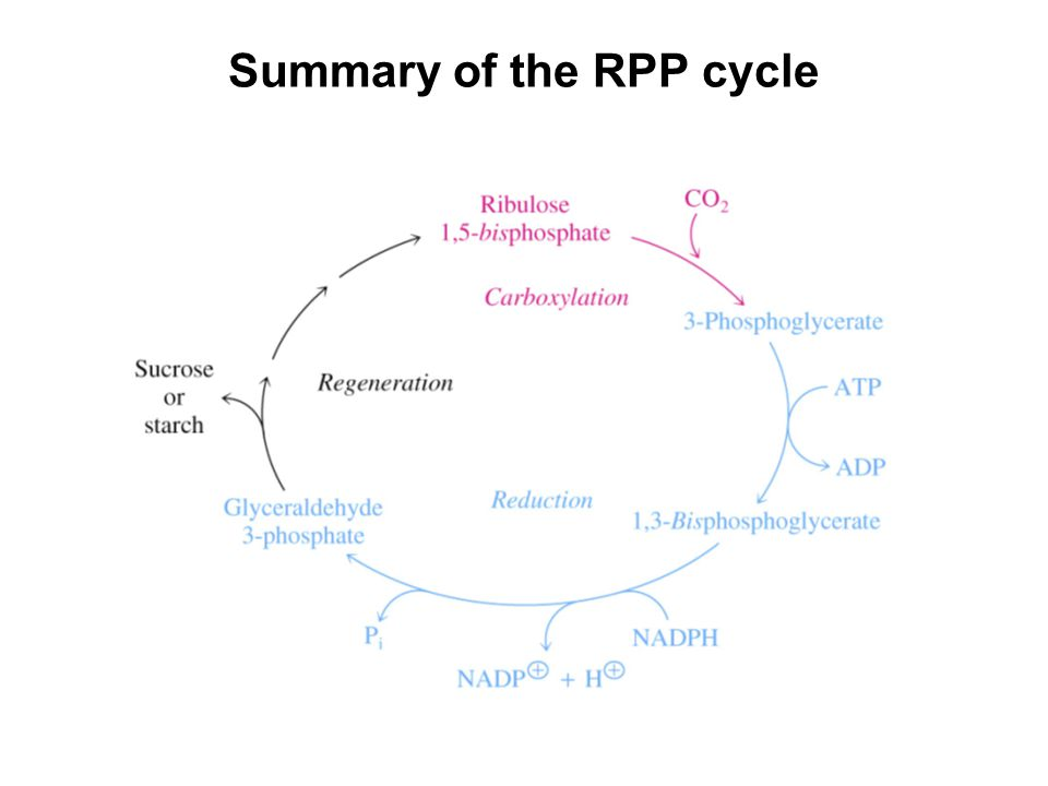Summary of the RPP cycle