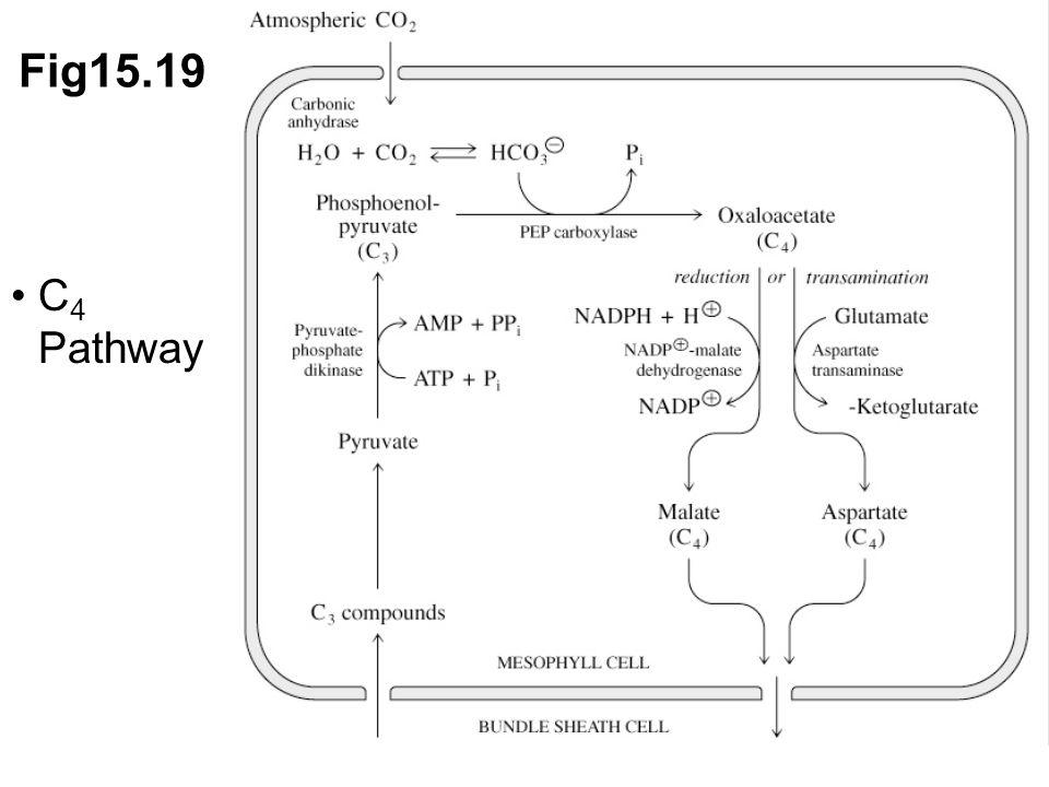 Fig15.19 C 4 Pathway