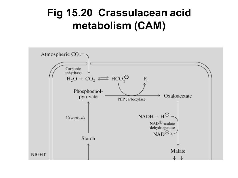 Fig 15.20 Crassulacean acid metabolism (CAM)