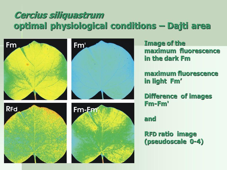 Cercius siliquastrum optimal physiological conditions – Dajti area Image of the maximum fluorescence in the dark Fm maximum fluorescence in light Fm' maximum fluorescence in light Fm' Difference of images Fm-Fm Difference of images Fm-Fm and R FD ratio image (pseudoscale 0-4) (pseudoscale 0-4)