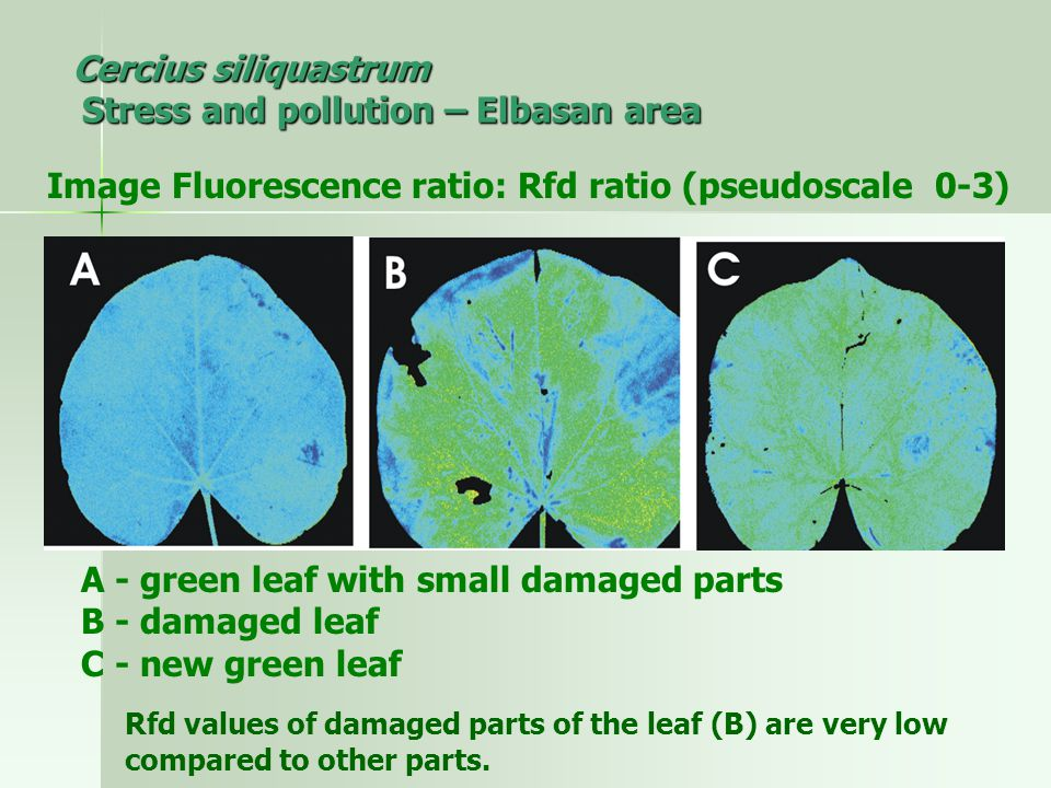 Cercius siliquastrum Stress and pollution – Elbasan area Image Fluorescence ratio: Rfd ratio (pseudoscale 0-3) A - green leaf with small damaged parts B - damaged leaf C - new green leaf Rfd values of damaged parts of the leaf ​​ (B) are very low compared to other parts.
