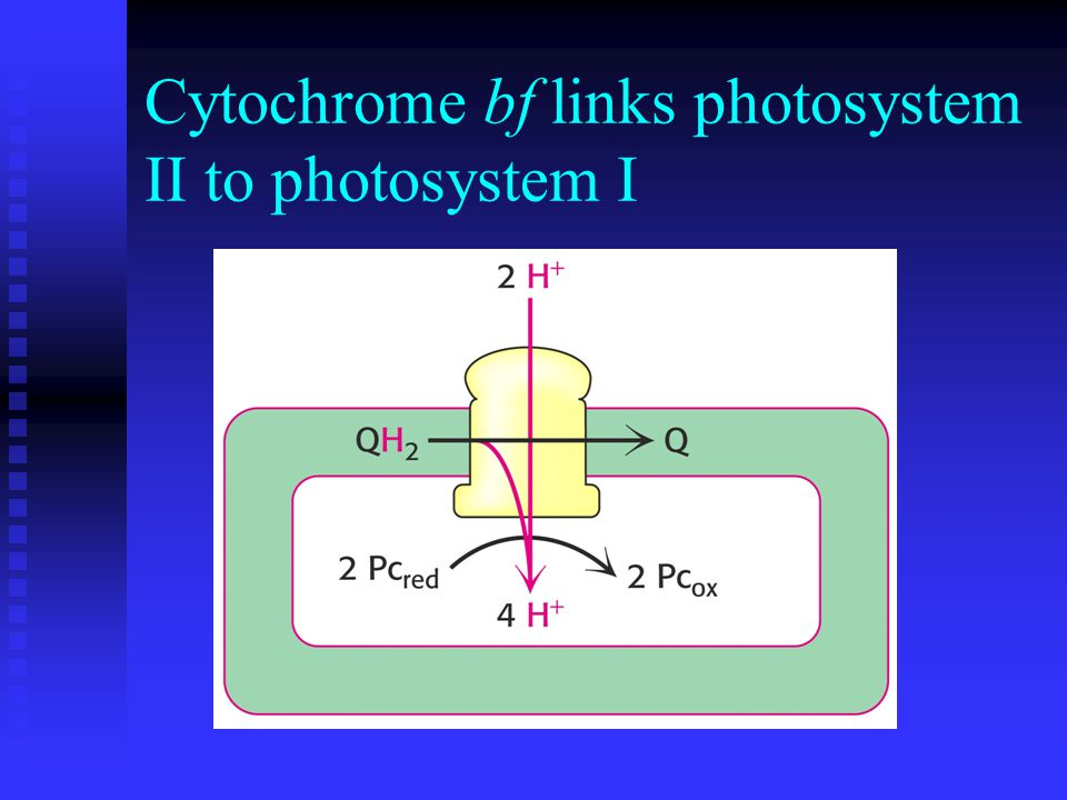 Cytochrome bf links photosystem II to photosystem I