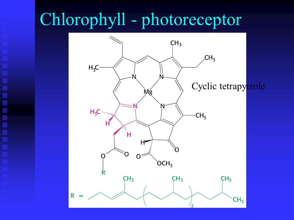 Cyclic tetrapyrrole Chlorophyll - photoreceptor