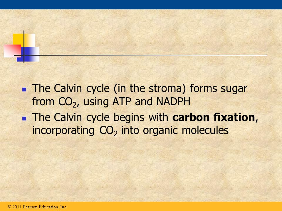 The Calvin cycle (in the stroma) forms sugar from CO 2, using ATP and NADPH The Calvin cycle begins with carbon fixation, incorporating CO 2 into orga
