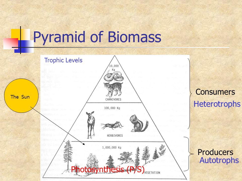 Pyramid of Biomass The Sun Photosynthesis (P/S) Producers Consumers Autotrophs Heterotrophs Trophic Levels