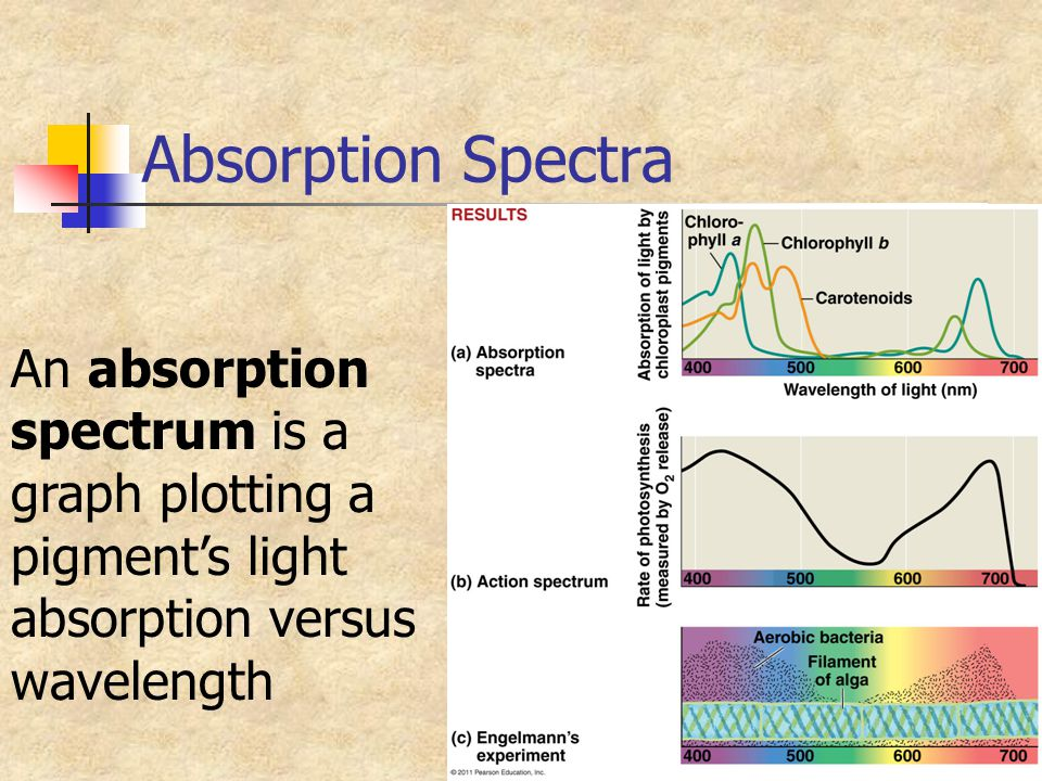 Absorption Spectra An absorption spectrum is a graph plotting a pigment's light absorption versus wavelength