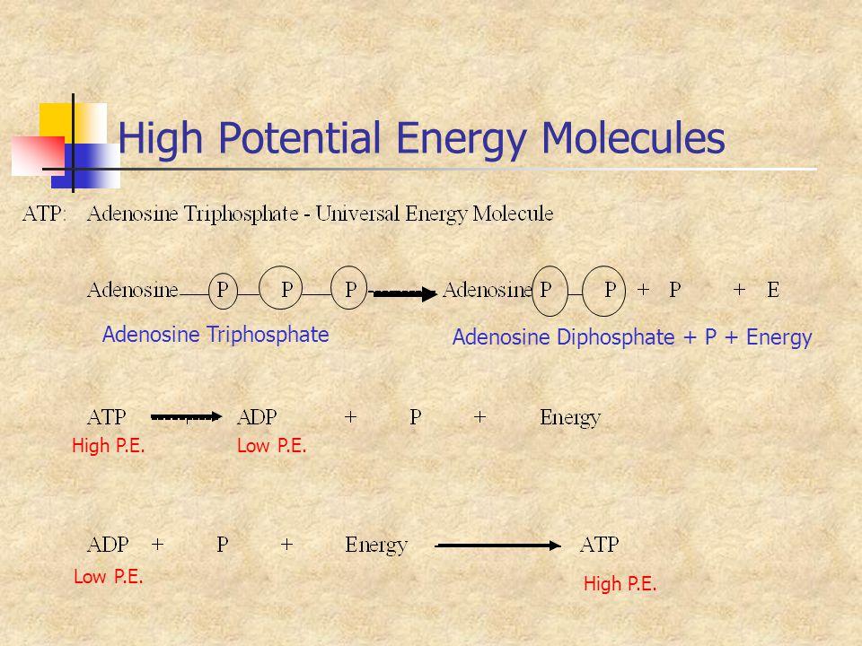 High Potential Energy Molecules Adenosine Triphosphate Adenosine Diphosphate + P + Energy High P.E.Low P.E. High P.E.