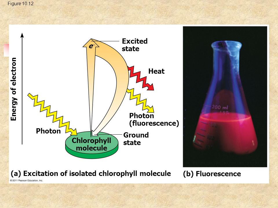 Figure 10.12 Excited state Heat ee Photon (fluorescence) Ground state Photon Chlorophyll molecule Energy of electron (a) Excitation of isolated chlo