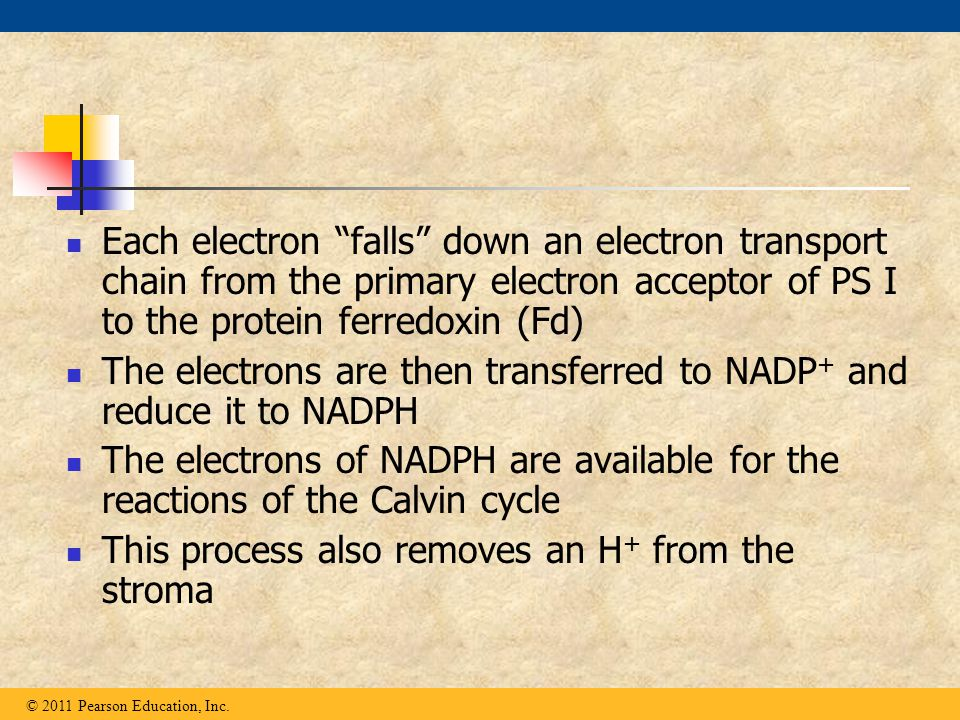 """Each electron """"falls"""" down an electron transport chain from the primary electron acceptor of PS I to the protein ferredoxin (Fd) The electrons are the"""