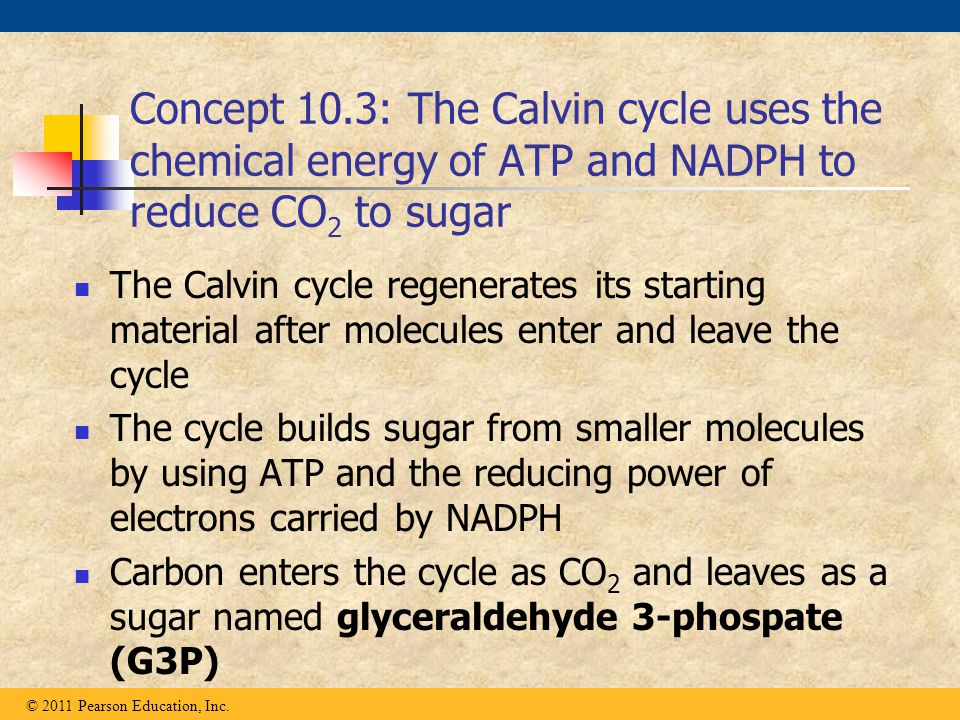 Concept 10.3: The Calvin cycle uses the chemical energy of ATP and NADPH to reduce CO 2 to sugar The Calvin cycle regenerates its starting material af