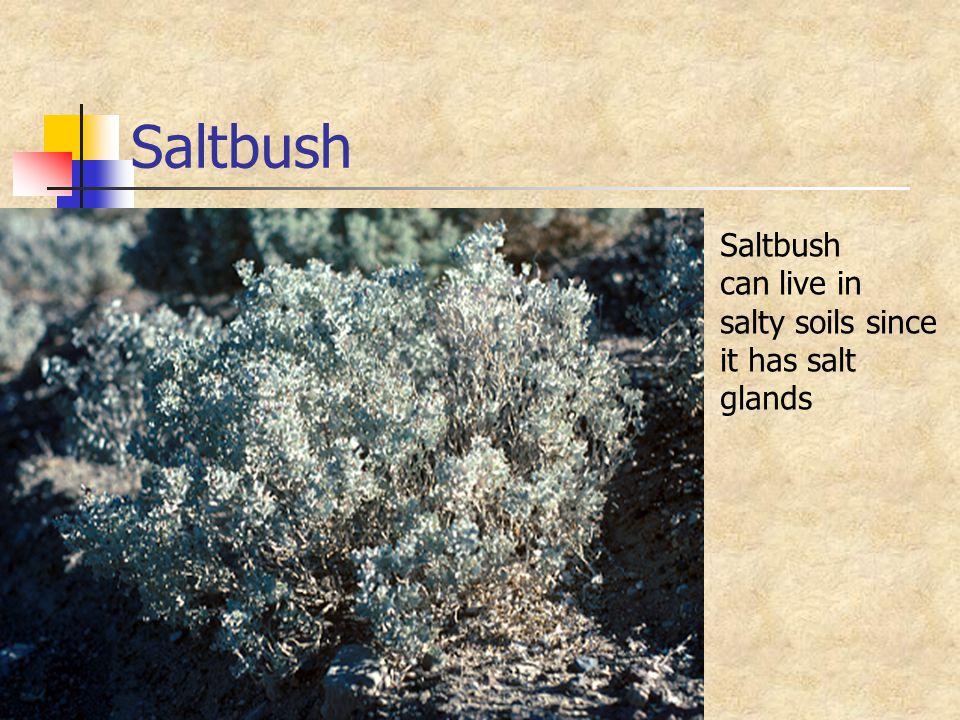 Saltbush can live in salty soils since it has salt glands