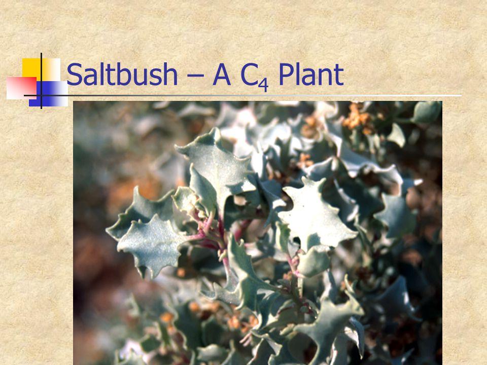 Saltbush – A C 4 Plant