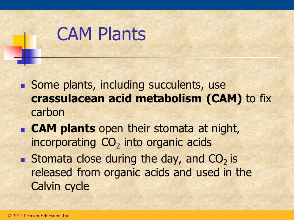 CAM Plants Some plants, including succulents, use crassulacean acid metabolism (CAM) to fix carbon CAM plants open their stomata at night, incorporati