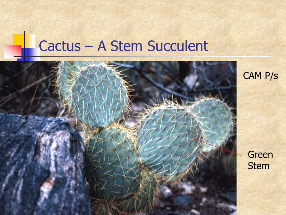 Cactus – A Stem Succulent Green Stem CAM P/s