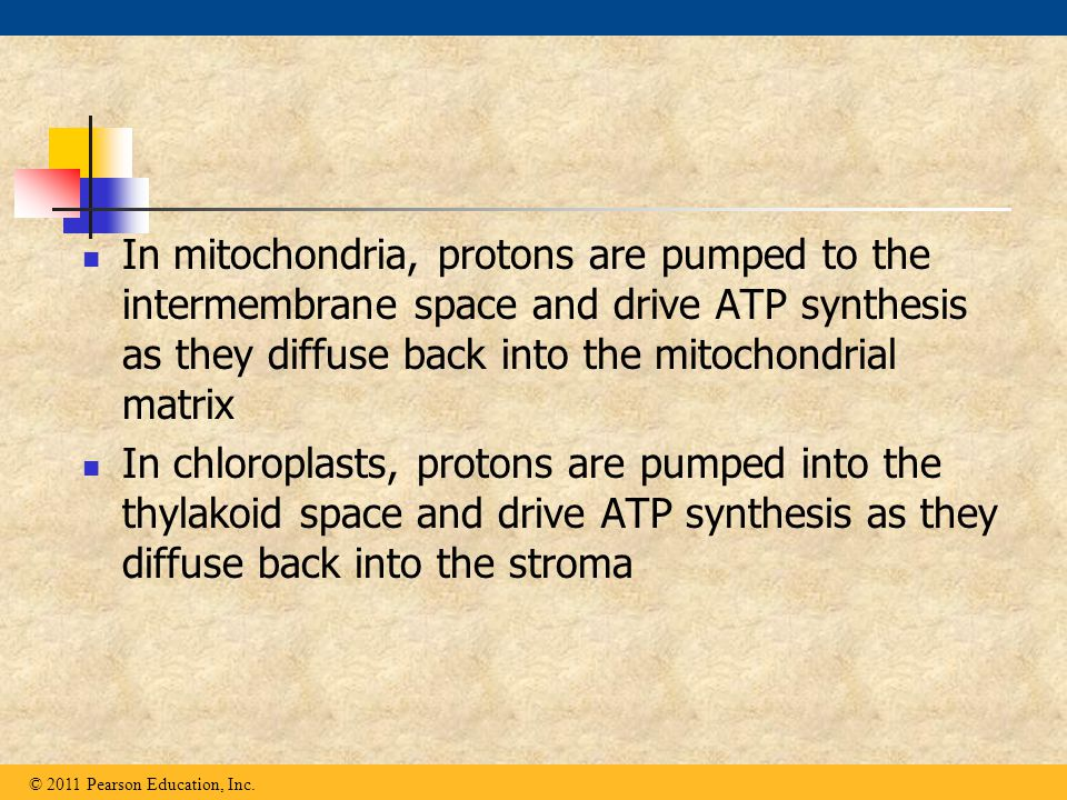 In mitochondria, protons are pumped to the intermembrane space and drive ATP synthesis as they diffuse back into the mitochondrial matrix In chloropla