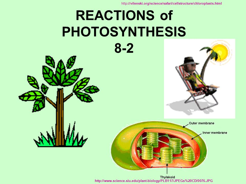REACTIONS of PHOTOSYNTHESIS 8-2 http://vilenski.org/science/safari/cellstructure/chloroplasts.html http://www.science.siu.edu/plant-biology/PLB117/JPEGs%20CD/0076.JPG