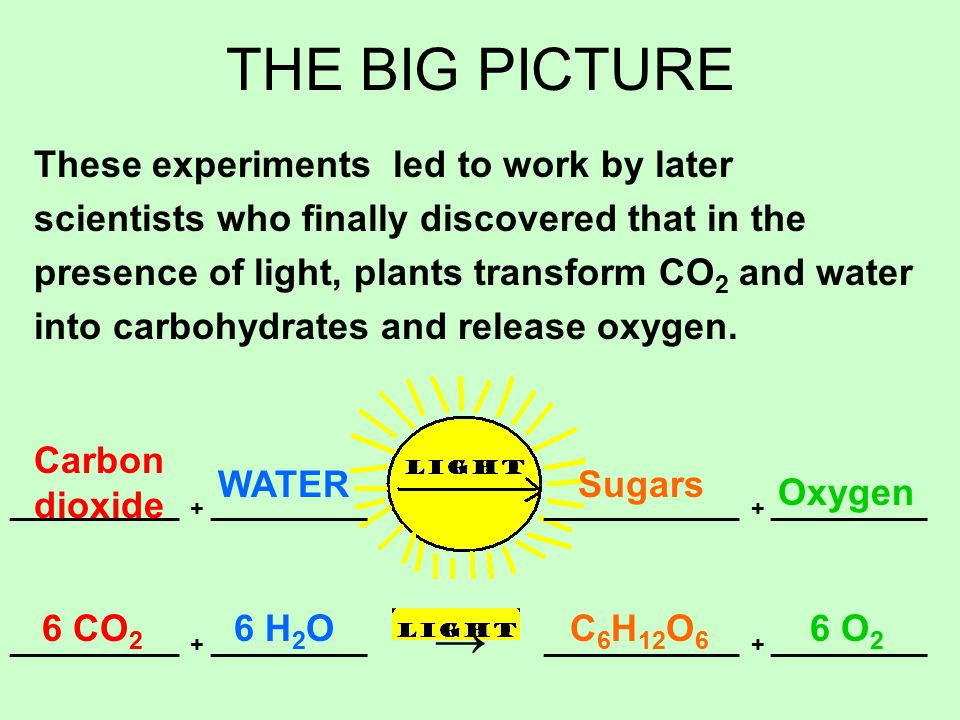 THE BIG PICTURE These experiments led to work by later scientists who finally discovered that in the presence of light, plants transform CO 2 and water into carbohydrates and release oxygen.