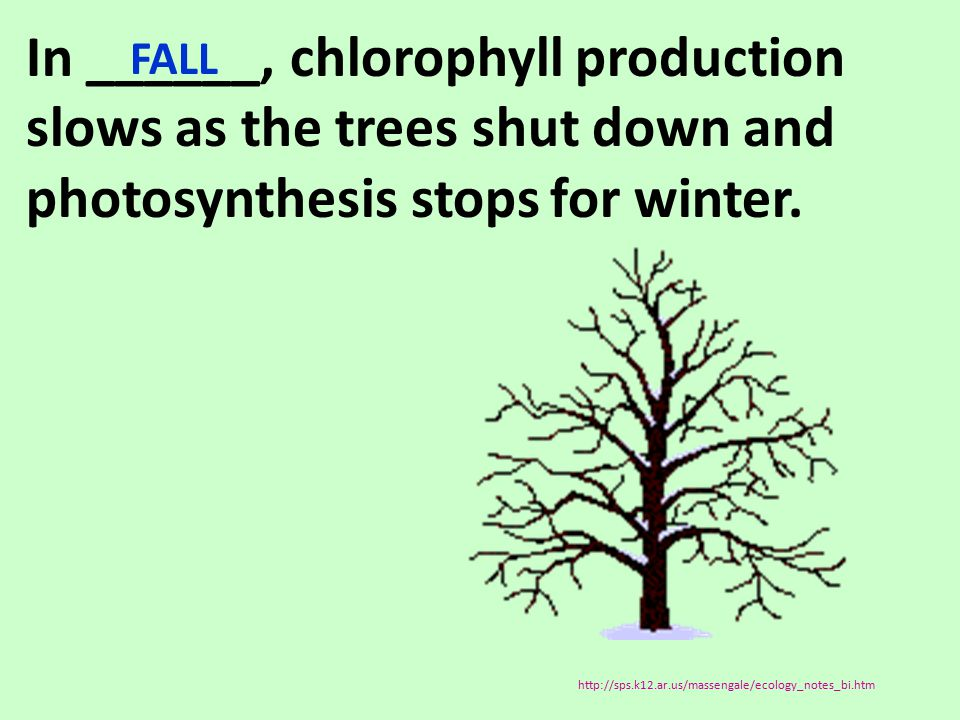 In ______, chlorophyll production slows as the trees shut down and photosynthesis stops for winter. FALL http://sps.k12.ar.us/massengale/ecology_notes