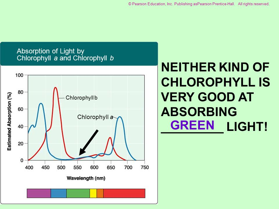 red Chlorophyll a Chlorophyll b Absorption of Light by Chlorophyll a and Chlorophyll b © Pearson Education, Inc.