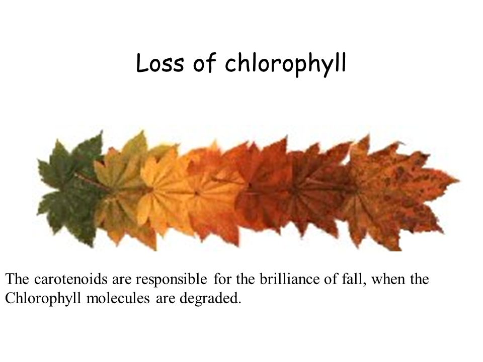 Loss of chlorophyll The carotenoids are responsible for the brilliance of fall, when the Chlorophyll molecules are degraded.