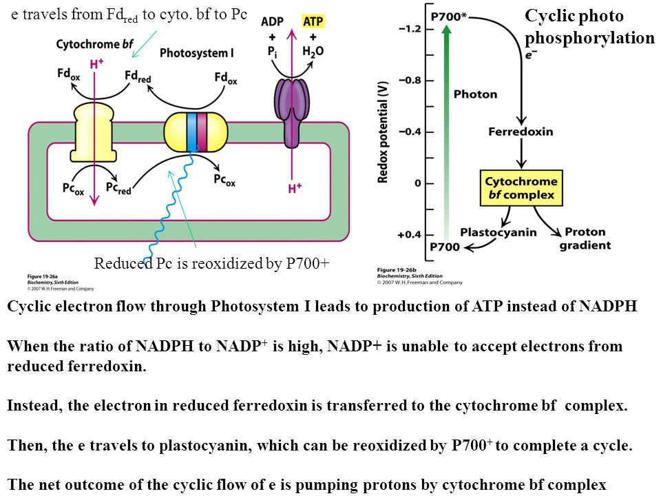Cyclic electron flow through Photosystem I leads to production of ATP instead of NADPH When the ratio of NADPH to NADP + is high, NADP+ is unable to accept electrons from reduced ferredoxin.