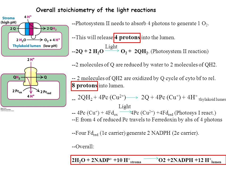 Overall stoichiometry of the light reactions --Photosystem II needs to absorb 4 photons to generate 1 O 2.