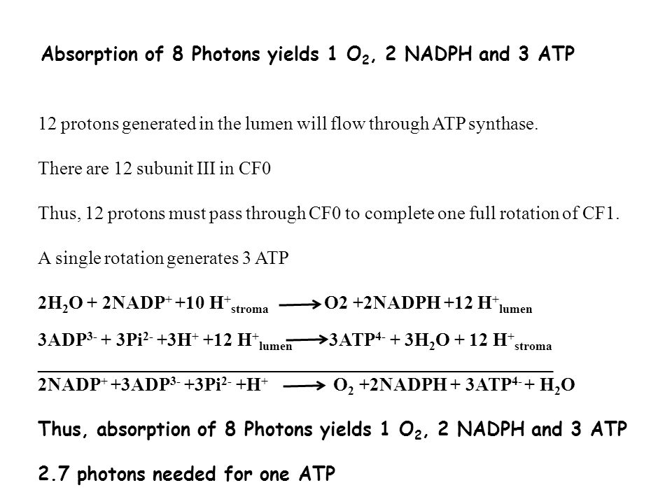 Absorption of 8 Photons yields 1 O 2, 2 NADPH and 3 ATP 12 protons generated in the lumen will flow through ATP synthase.