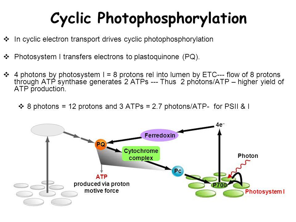 Pc PQ P700 Photon Photosystem I 4e – ATP produced via proton motive force Ferredoxin Cytochrome complex Cyclic Photophosphorylation  In cyclic electron transport drives cyclic photophosphorylation  Photosystem I transfers electrons to plastoquinone (PQ).