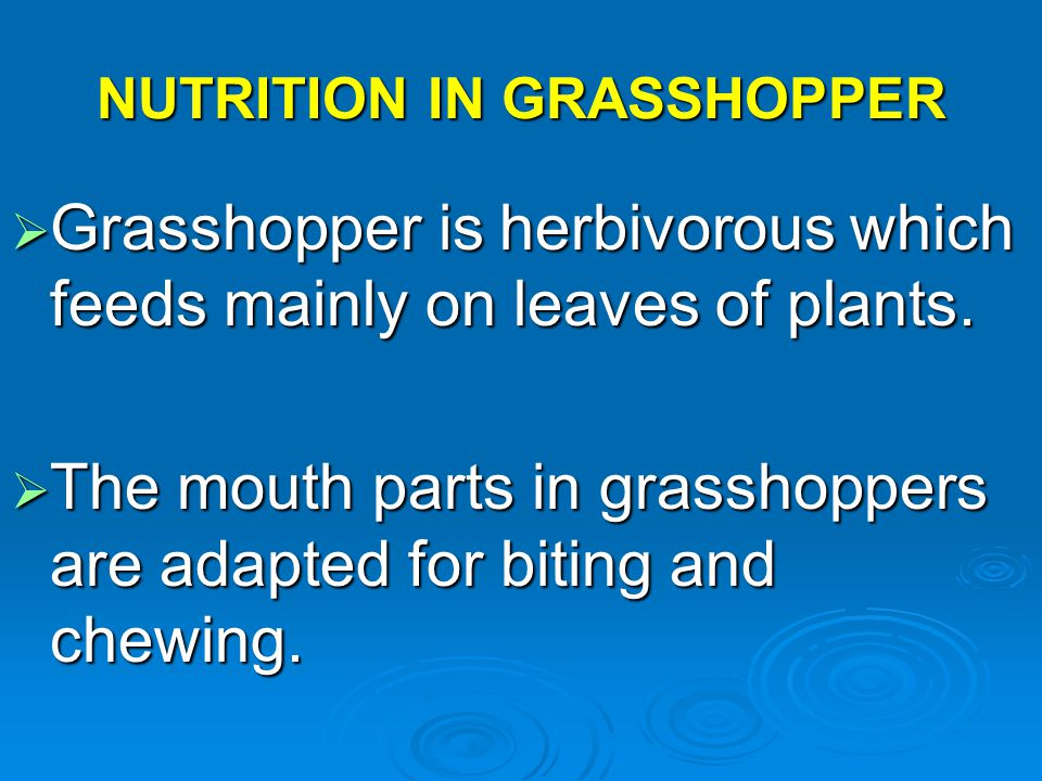 NUTRITION IN GRASSHOPPER  Grasshopper is herbivorous which feeds mainly on leaves of plants.  The mouth parts in grasshoppers are adapted for biting