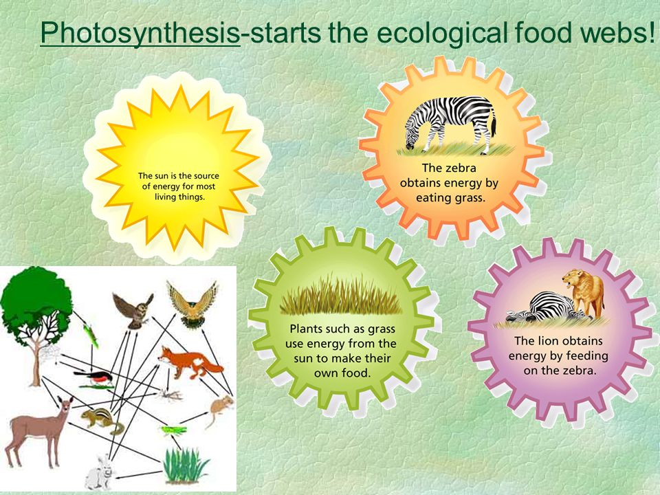Photosynthesis-starts the ecological food webs!