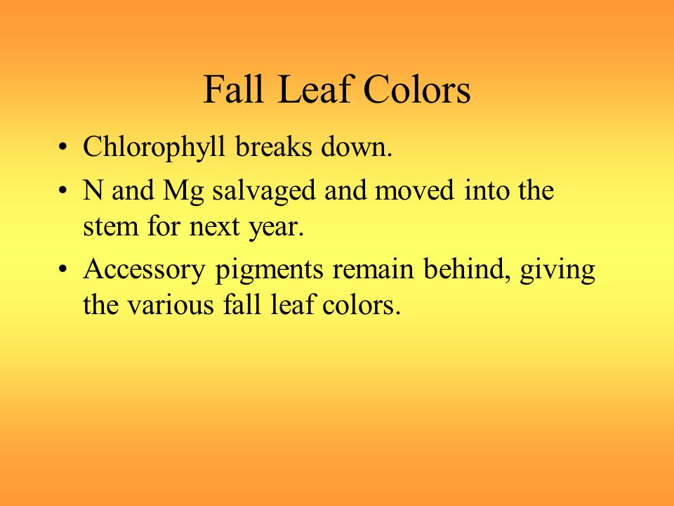 Fall Leaf Colors Chlorophyll breaks down. N and Mg salvaged and moved into the stem for next year.