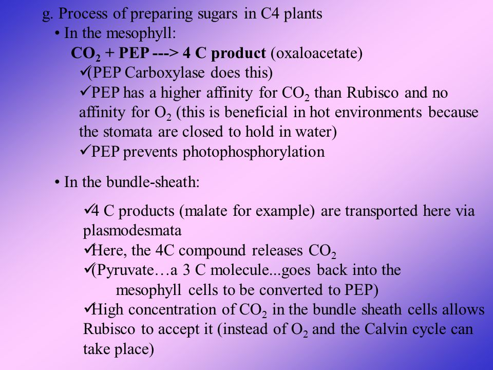 g. Process of preparing sugars in C4 plants In the mesophyll: CO 2 + PEP ---> 4 C product (oxaloacetate) (PEP Carboxylase does this) PEP has a higher