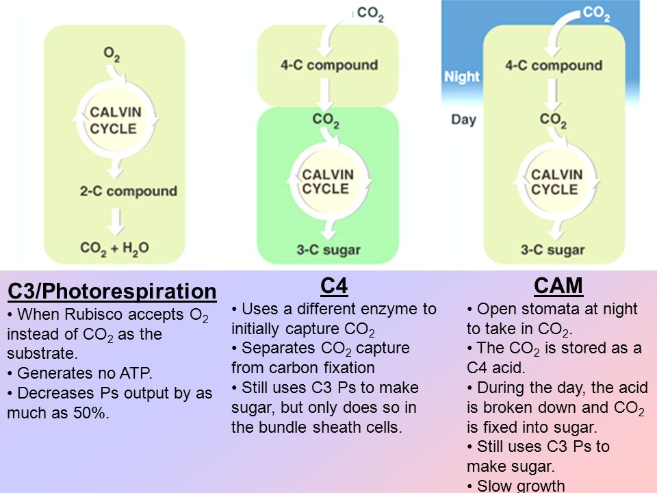 C4 Uses a different enzyme to initially capture CO 2 Separates CO 2 capture from carbon fixation Still uses C3 Ps to make sugar, but only does so in t