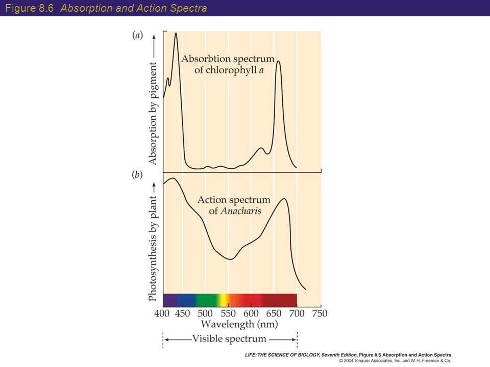Figure 8.6 Absorption and Action Spectra