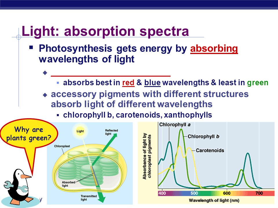 AP Biology A Look at Light  The spectrum of color ROYGBIV