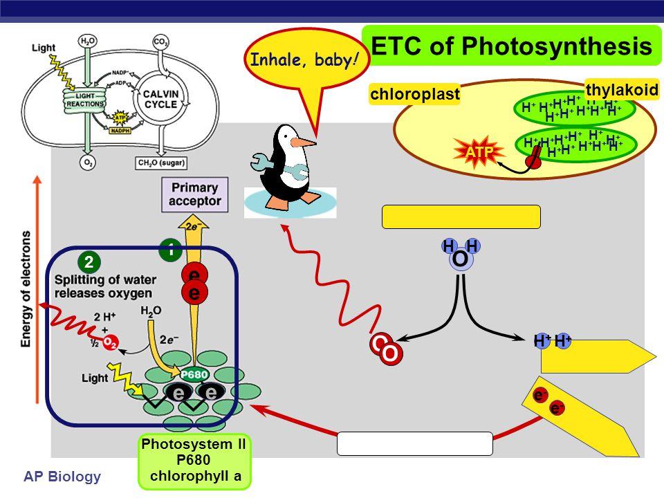 AP Biology 1 ETC of Photosynthesis e e sun Photosystem II P680 chlorophyll a