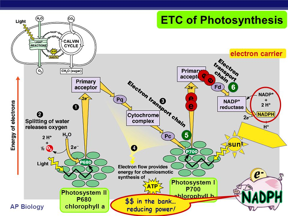 AP Biology e e e e sun 5 Photosystem II P680 chlorophyll a Photosystem I P700 chlorophyll b e e ETC of Photosynthesis e e fill the e – vacancy