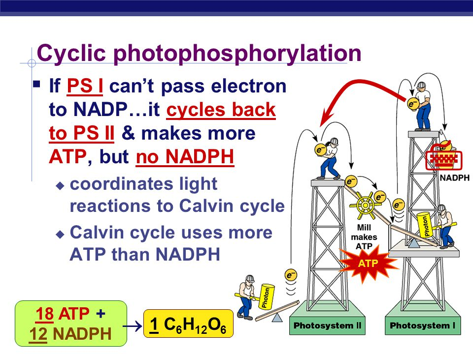 AP Biology Noncyclic Photophosphorylation  Light reactions elevate electrons in 2 steps (PS II & PS I)  ____________________ ____________________ AT