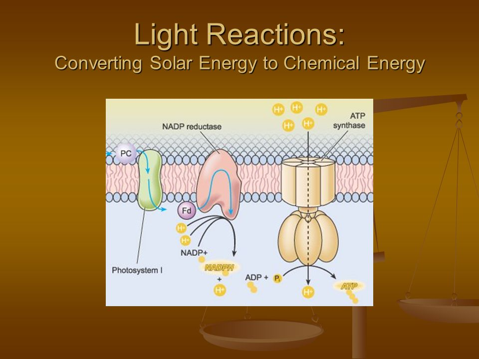 Light Reactions: Converting Solar Energy to Chemical Energy