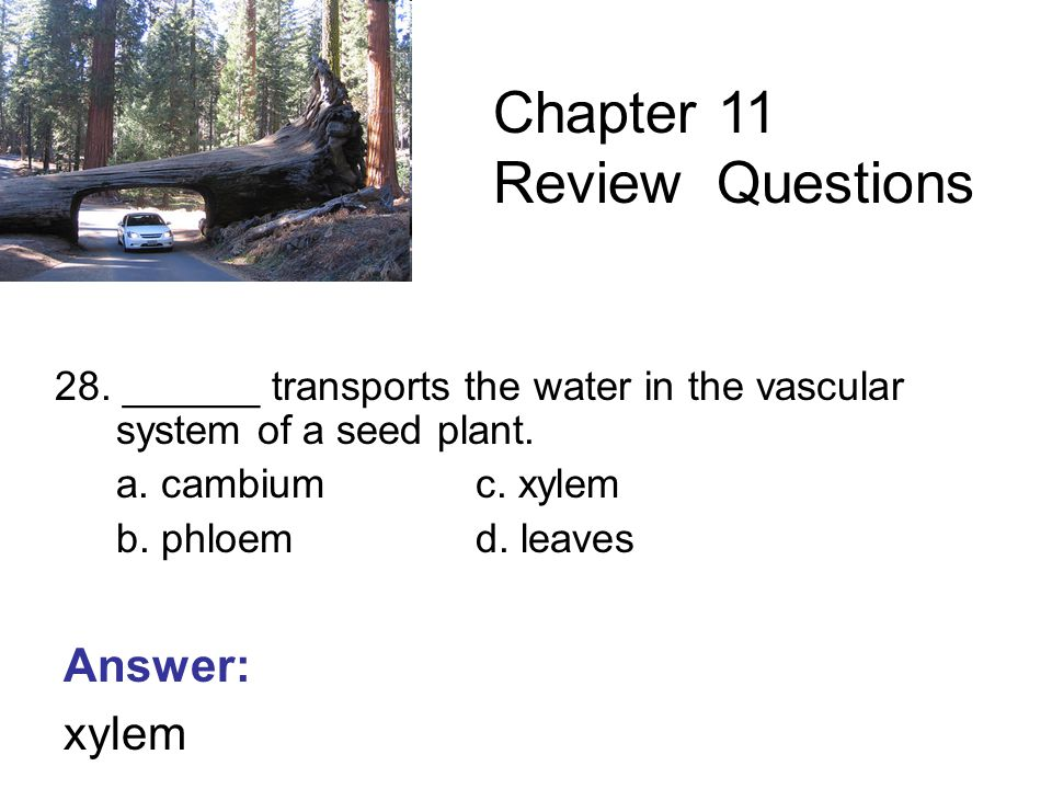 28. ______ transports the water in the vascular system of a seed plant.