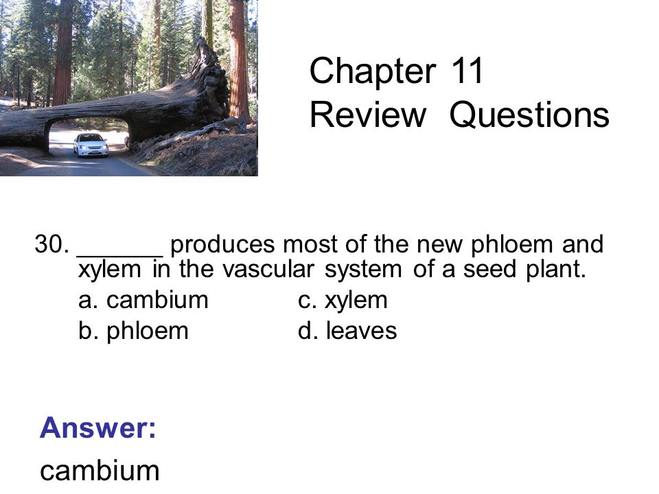 30. ______ produces most of the new phloem and xylem in the vascular system of a seed plant.