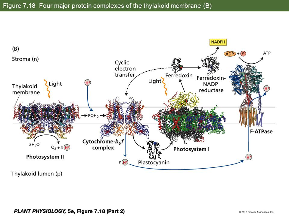 Figure 7.18 Four major protein complexes of the thylakoid membrane (B)