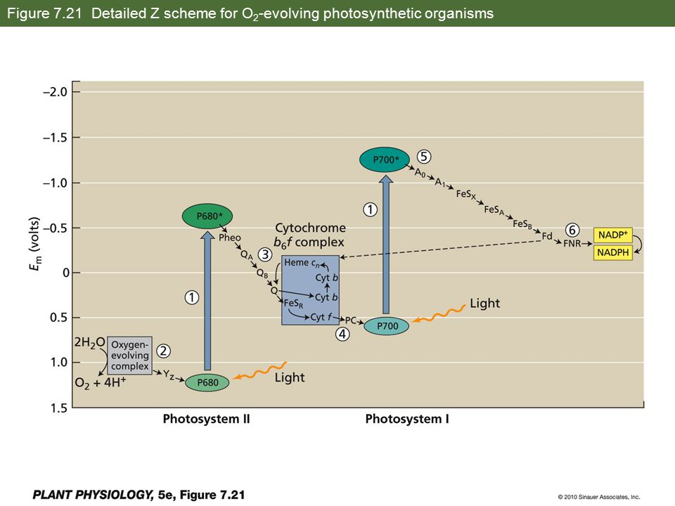 Figure 7.21 Detailed Z scheme for O 2 -evolving photosynthetic organisms