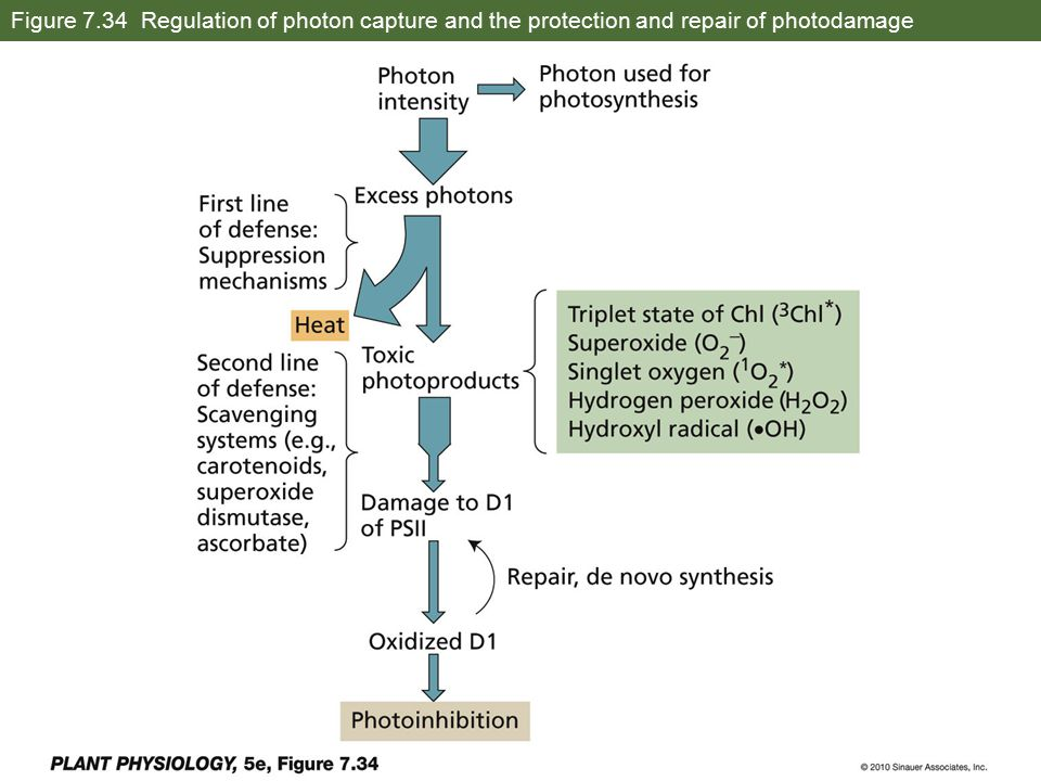 Figure 7.34 Regulation of photon capture and the protection and repair of photodamage