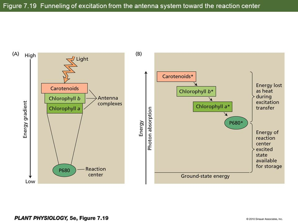 Figure 7.19 Funneling of excitation from the antenna system toward the reaction center