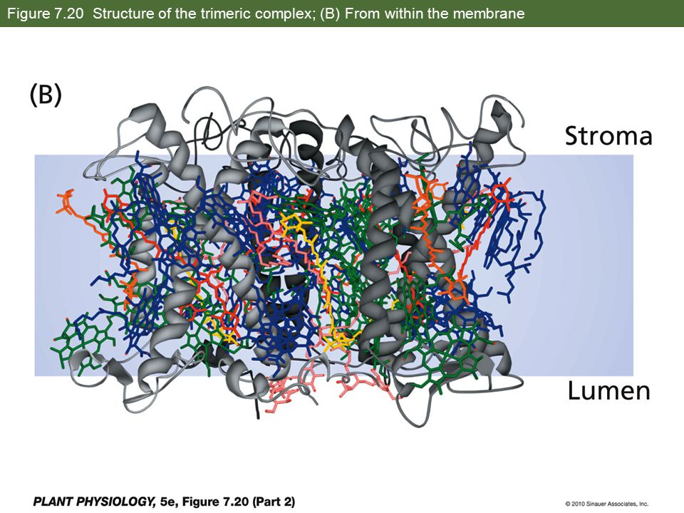 Figure 7.20 Structure of the trimeric complex; (B) From within the membrane
