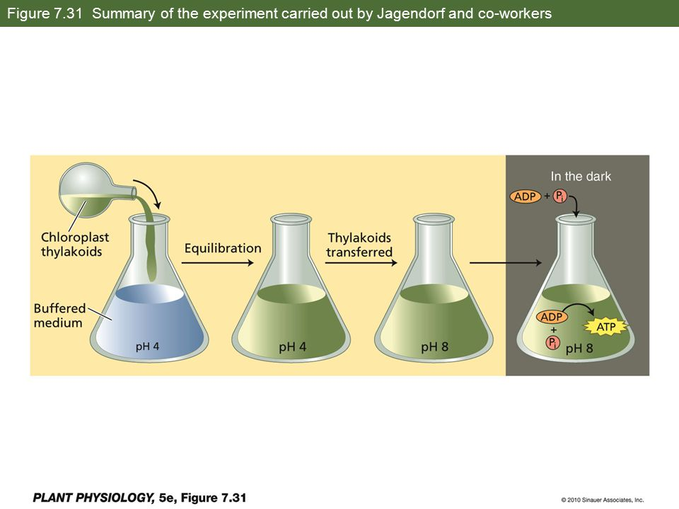 Figure 7.31 Summary of the experiment carried out by Jagendorf and co-workers