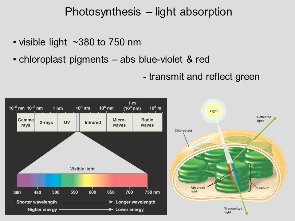 Photosynthesis – light absorption visible light ~380 to 750 nm chloroplast pigments – abs blue-violet & red - transmit and reflect green