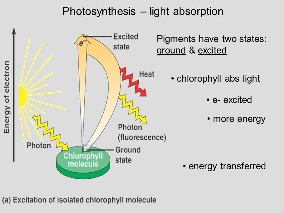 chlorophyll abs light Photosynthesis – light absorption e- excited more energy energy transferred Pigments have two states: ground & excited